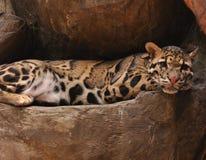 Décontracté et au jaguar de paix Photographie stock libre de droits