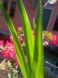 décoration des feuilles pandan pour la beauté du jardin images libres de droits