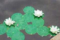 Décoration en plastique des lis d'eau sur l'eau Photos stock