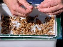 Décorticage des crevettes roses Image stock