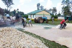 Décorticage du maïs images libres de droits