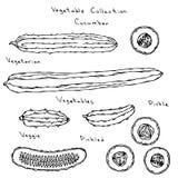 Découpage en tranches anglais réglé d'illustration de vecteur de concombre long, marinant, cornichon, conserves au vinaigre, Burp Images libres de droits