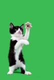 Découpage espiègle de chat domestique Photo stock