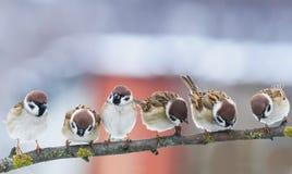 Décrivez beaucoup de petits moineaux drôles d'oiseaux sur une branche dans le Gard Photos stock