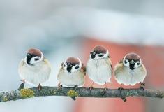 Décrivez le groupe de petits moineaux drôles d'oiseaux sur une branche dans Images libres de droits