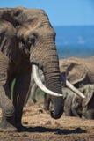 Défenses célèbres d'éléphant Photographie stock libre de droits