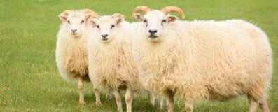 Défilé de moutons Images stock