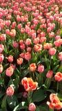 Défilé des roses Photo stock