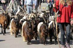 Défilé noir de chèvres de montagne Photos libres de droits