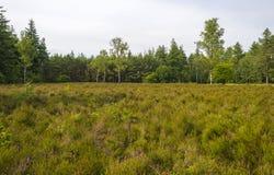 Dégagement avec la bruyère le long d'une forêt photo stock