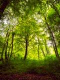 Dégagement dans les arbres forestiers denses avec la lumière dispersée tombant par les feuilles image libre de droits