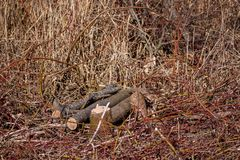 Dégagement de Bush Troncs d'arbre sciés photo stock