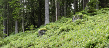 Dégagement de forêt couvert par des buissons de myrtille photo libre de droits