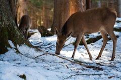 Déjeuner de cerfs communs d'hiver Image stock