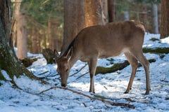 Déjeuner de cerfs communs d'hiver Photos stock