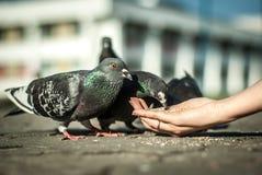 Déjeuner de pigeons Photographie stock