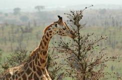 Déjeuner pour la giraffe Photos libres de droits