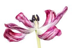 Délabrement de la tulipe OD photo libre de droits