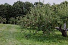 Délicieux frais de ferme de champ de pommiers vous sélection photo libre de droits
