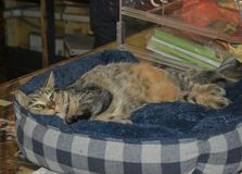 D?livrance Cat Relaxes sur le compteur chez Cat Cafe photo stock
