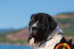 Délivrance de chien de Landseer dans l'eau Images stock