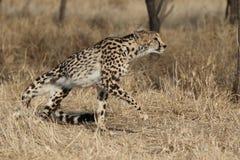 Déménager adulte du Roi Cheetah images libres de droits
