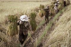Déménager de fermiers a moissonné le riz photographie stock