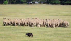 Déménager le troupeau de moutons (Bélier d'Ovus) photos stock
