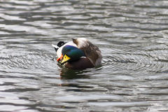 Démangeaison de canard de Mallard Images stock