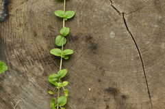 Démantelé le tronc Pots de s'élever de feuilles d'arbre et d'usine fragile contre le tronc Photos libres de droits