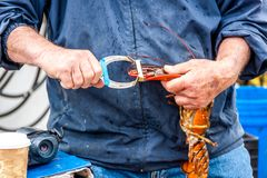 Démo de Maine Lobster Boat, comment-au crochet et au homard de bande du piège, homard tenu dans la main photographie stock libre de droits