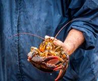 Démo de Maine Lobster Boat, comment-au crochet et au homard de bande du piège, homard tenu dans la main images libres de droits