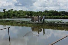 Démon d'étang et de légume à Khulnâ, Bangladesh photographie stock libre de droits