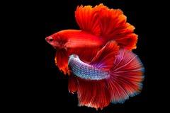 Déplacement de deux poissons de combat saimese Photos stock