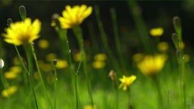 Déplacement par le pré avec les fleurs jaunes sauvages banque de vidéos