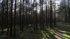 Déplacement sans heurt à travers la fusée profonde de lentille de lumière du soleil de tir de la forêt POV de pin-sapin clips vidéos