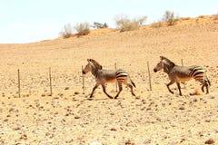 Désert courant de couples de zèbre, Nambia Photographie stock