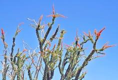 Désert d'Anza-Borrego : Ocotillo de floraison Photographie stock