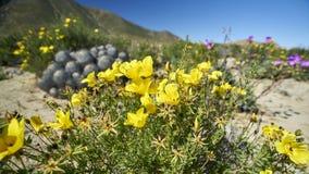 15-08-2017 désert d'Atacama, Chili Désert fleurissant 2017 Photographie stock
