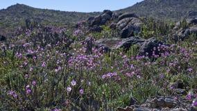 15-08-2017 désert d'Atacama, Chili Désert fleurissant 2017 Photos stock