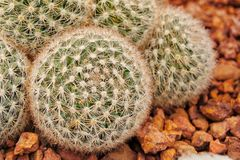 Désert de fleur de cactus tropical photos stock