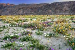 Désert de floraison photographie stock