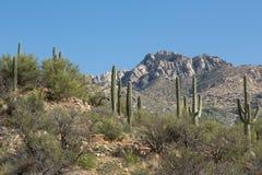 Désert de Saguaro Photo libre de droits