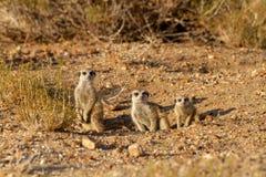 Désert Namibie animale Afrique de Suricate photo stock