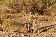 Désert Namibie animale Afrique de Suricate image stock