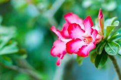 Désert Rose Photo stock
