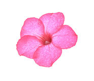 Désert Rose Image stock