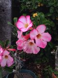 Désert Rose Photos libres de droits