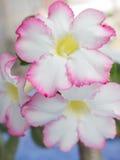 Désert Rose Photographie stock libre de droits