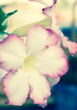 Désert Rose Photographie stock
